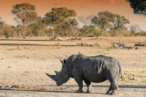 Awesome South Africa Collection - Black Rhinoceros and Savanna Landscape at Sunset by Philippe Hugonnard