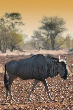 Awesome South Africa Collection - Blue Wildebeest at Sunset I by Philippe Hugonnard