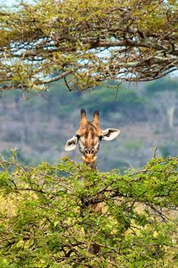 Awesome South Africa Collection - Curious Giraffe by Philippe Hugonnard