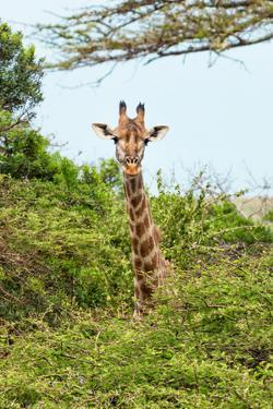 Awesome South Africa Collection - Giraffe in Trees II by Philippe Hugonnard