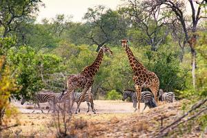 Awesome South Africa Collection - Giraffes and Burchell's Zebra by Philippe Hugonnard