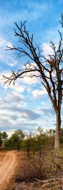 Awesome South Africa Collection Panoramic - Acacia Tree in the Savannah by Philippe Hugonnard