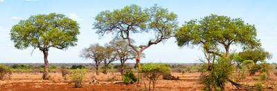 Awesome South Africa Collection Panoramic - Acacia Trees on Savannah by Philippe Hugonnard