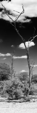 Awesome South Africa Collection Panoramic - African Tree at Savannah B&W by Philippe Hugonnard