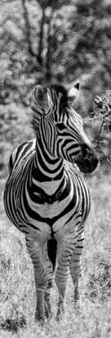 Awesome South Africa Collection Panoramic - Burchell's Zebra Portrait B&W by Philippe Hugonnard