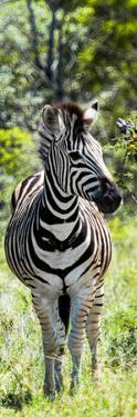 Awesome South Africa Collection Panoramic - Burchell's Zebra Portrait by Philippe Hugonnard
