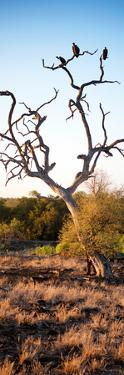 Awesome South Africa Collection Panoramic - Cape Vulture on a Tree at Sunrise by Philippe Hugonnard