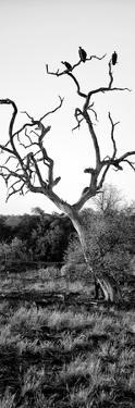 Awesome South Africa Collection Panoramic - Cape Vulture on a Tree B&W by Philippe Hugonnard