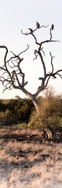 Awesome South Africa Collection Panoramic - Cape Vulture on a Tree by Philippe Hugonnard