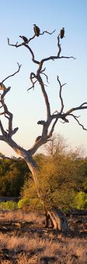 Awesome South Africa Collection Panoramic - Cape Vulture Tree at Sunset II by Philippe Hugonnard