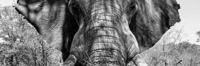 Awesome South Africa Collection Panoramic - Close-Up of Elephant B&W by Philippe Hugonnard