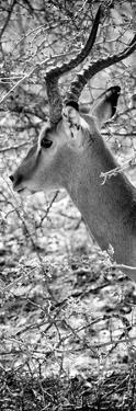 Awesome South Africa Collection Panoramic - Close-Up of Impala B&W by Philippe Hugonnard