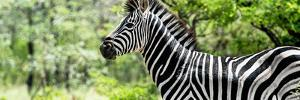 Awesome South Africa Collection Panoramic - Close-Up of Zebra by Philippe Hugonnard