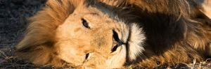 Awesome South Africa Collection Panoramic - Close-Up Portrait of a sleeping Lion by Philippe Hugonnard