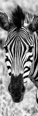 Awesome South Africa Collection Panoramic - Close-up Zebra Portrait B&W by Philippe Hugonnard