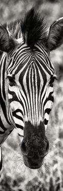 Awesome South Africa Collection Panoramic - Close-up Zebra Portrait II by Philippe Hugonnard