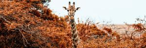 Awesome South Africa Collection Panoramic - Curious Giraffe with Red Savanna by Philippe Hugonnard