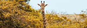Awesome South Africa Collection Panoramic - Curious Giraffe with Yellow Savanna by Philippe Hugonnard