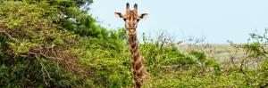 Awesome South Africa Collection Panoramic - Curious Giraffe by Philippe Hugonnard