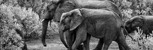 Awesome South Africa Collection Panoramic - Elephant Family B&W by Philippe Hugonnard