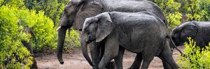 Awesome South Africa Collection Panoramic - Elephant Family by Philippe Hugonnard
