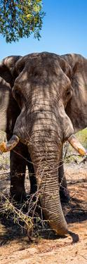 Awesome South Africa Collection Panoramic - Elephant Portrait by Philippe Hugonnard