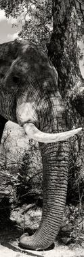 Awesome South Africa Collection Panoramic - Elephant Profile by Philippe Hugonnard