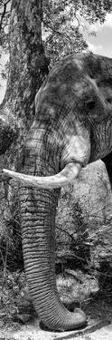 Awesome South Africa Collection Panoramic - Elephant Trunk B&W by Philippe Hugonnard