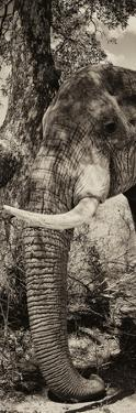 Awesome South Africa Collection Panoramic - Elephant Trunk II by Philippe Hugonnard