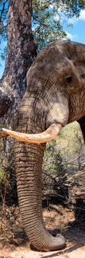 Awesome South Africa Collection Panoramic - Elephant Trunk by Philippe Hugonnard