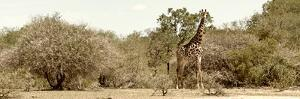 Awesome South Africa Collection Panoramic - Giraffe in the African Savannah by Philippe Hugonnard