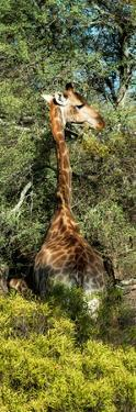 Awesome South Africa Collection Panoramic - Giraffe in the Bush by Philippe Hugonnard
