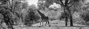 Awesome South Africa Collection Panoramic - Giraffe in the Savanna B&W by Philippe Hugonnard