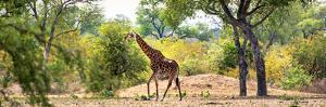 Awesome South Africa Collection Panoramic - Giraffe in the Savanna by Philippe Hugonnard