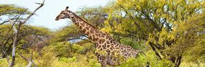 Awesome South Africa Collection Panoramic - Giraffe Kruger Park by Philippe Hugonnard