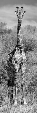 Awesome South Africa Collection Panoramic - Giraffe Portrait B&W by Philippe Hugonnard