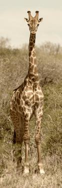 Awesome South Africa Collection Panoramic - Giraffe Portrait II by Philippe Hugonnard
