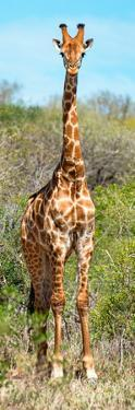 Awesome South Africa Collection Panoramic - Giraffe Portrait by Philippe Hugonnard