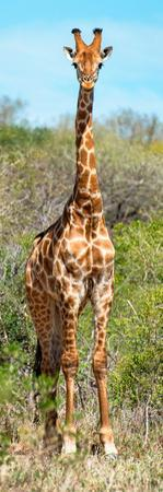Awesome South Africa Collection Panoramic - Giraffe Portrait