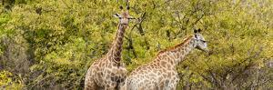 Awesome South Africa Collection Panoramic - Giraffes in Forest II by Philippe Hugonnard
