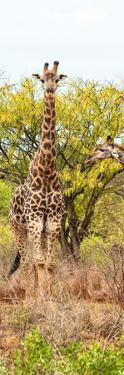 Awesome South Africa Collection Panoramic - Giraffes in Savannah II by Philippe Hugonnard
