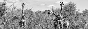 Awesome South Africa Collection Panoramic - Herd of Giraffes B&W by Philippe Hugonnard