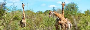 Awesome South Africa Collection Panoramic - Herd of Giraffes by Philippe Hugonnard