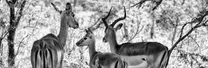 Awesome South Africa Collection Panoramic - Impala Family B&W by Philippe Hugonnard