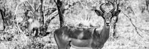 Awesome South Africa Collection Panoramic - Impala Portrait B&W by Philippe Hugonnard