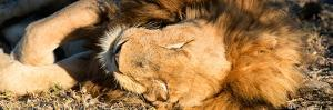 Awesome South Africa Collection Panoramic - Lion sleeping at Sunset by Philippe Hugonnard
