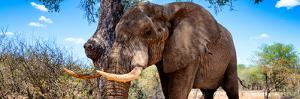 Awesome South Africa Collection Panoramic - Male African Elephant by Philippe Hugonnard