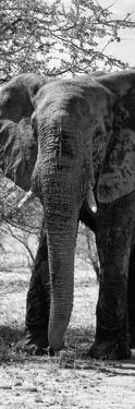 Awesome South Africa Collection Panoramic - Old African Elephant B&W by Philippe Hugonnard