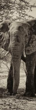 Awesome South Africa Collection Panoramic - Old African Elephant II by Philippe Hugonnard