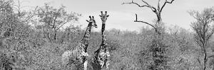 Awesome South Africa Collection Panoramic - Pair of Giraffes B&W by Philippe Hugonnard
